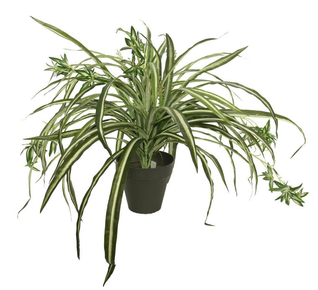 Cinta variegata m con maceta 50cm - Cinta planta ...