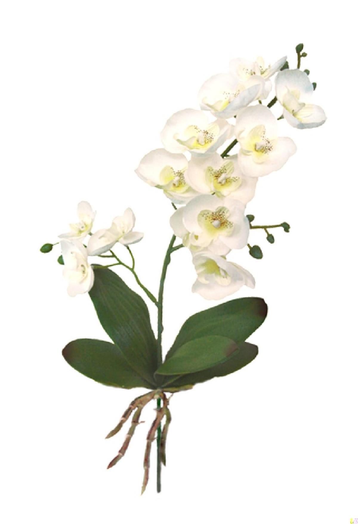 Orquídea con hojas+raíz crema - 30cm