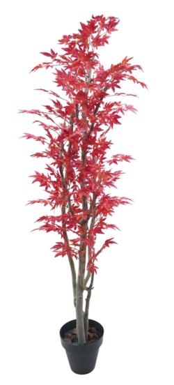 Arbol de maple japons rojo tronco blanco - 240cm