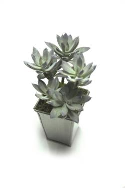 Echeveria gris base mad.gris - 8x8x22cm
