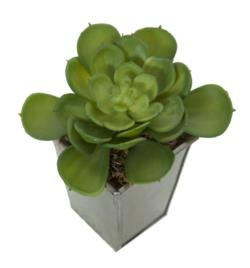 Echeveria secunda base mad.gris - 8x8x14cm