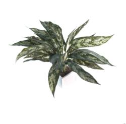 White box aglaonema verde - 8x8x40cm