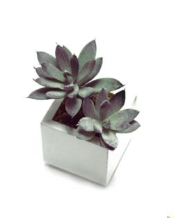 White box echeveria gris - 6x6x11cm