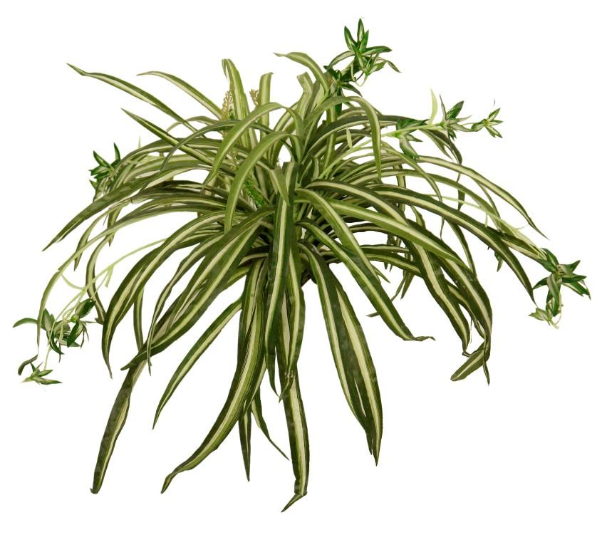 Cinta variegata m 50cm - Cinta planta ...