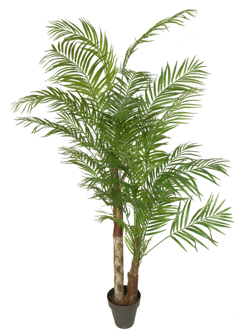 Areca Princess tronco tropical - 240cm