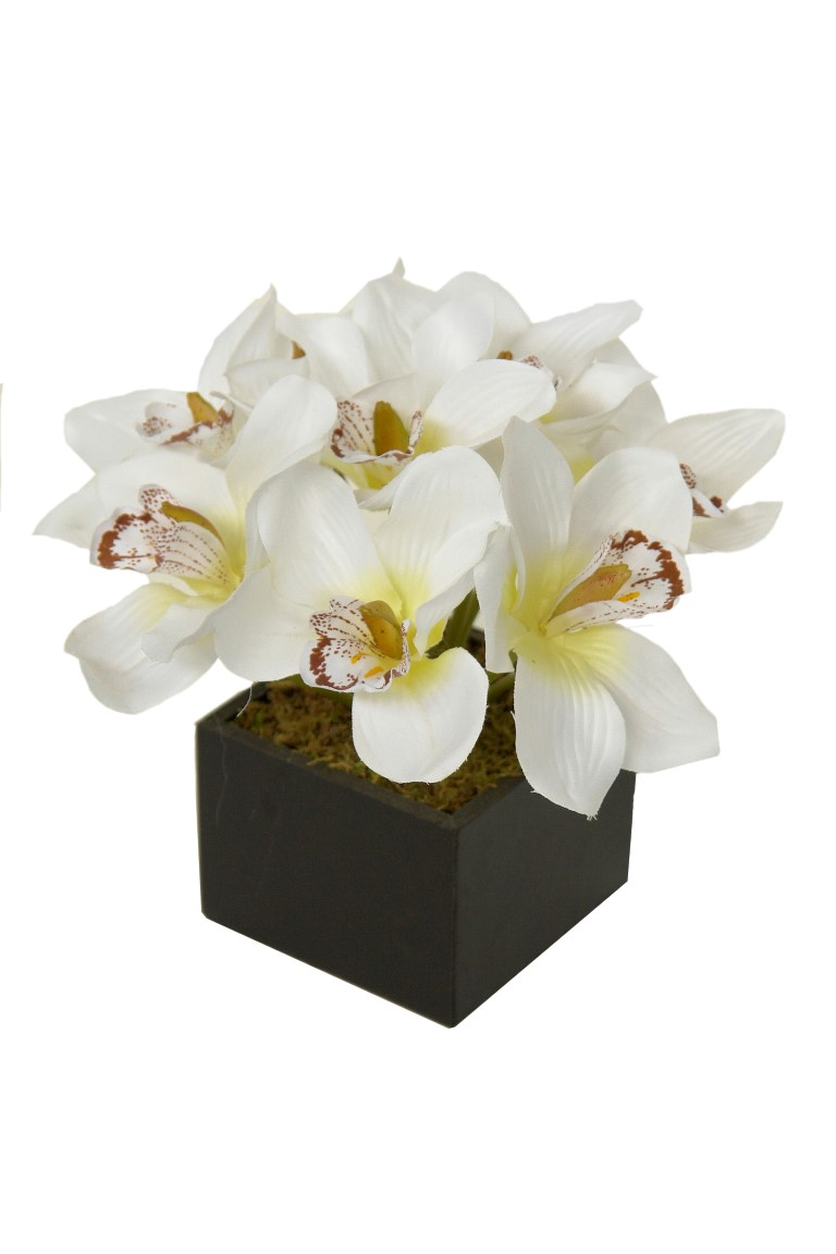 black box Cimbidium crema - 11x11x26cm